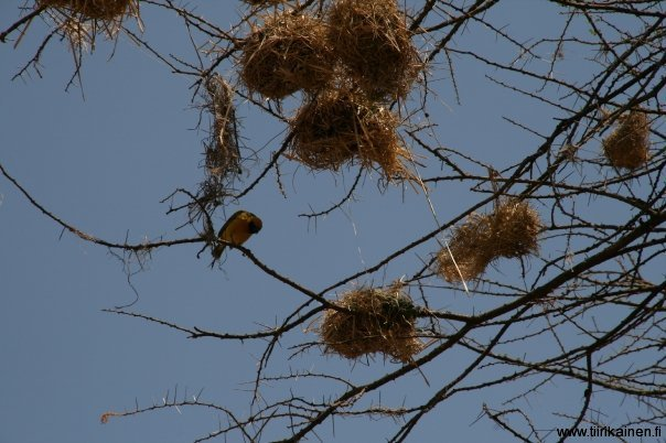 weaver bird and old nests in serengeti