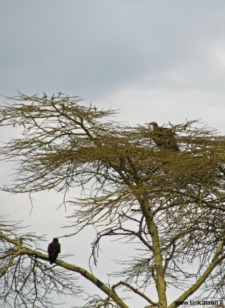 lapped-faced vulture and tawny eagle in serengeti