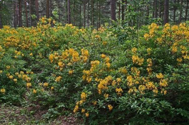 yellow rhododendrons inside forest in helsinki