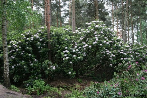 five metre tall rhododendrons in helsinki
