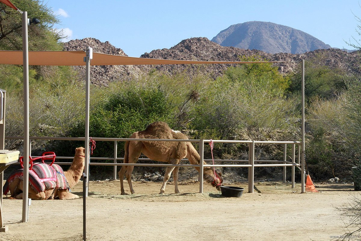 camels ready for rides