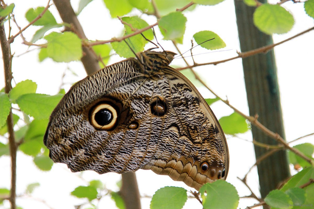 largest of all - owl butterfly