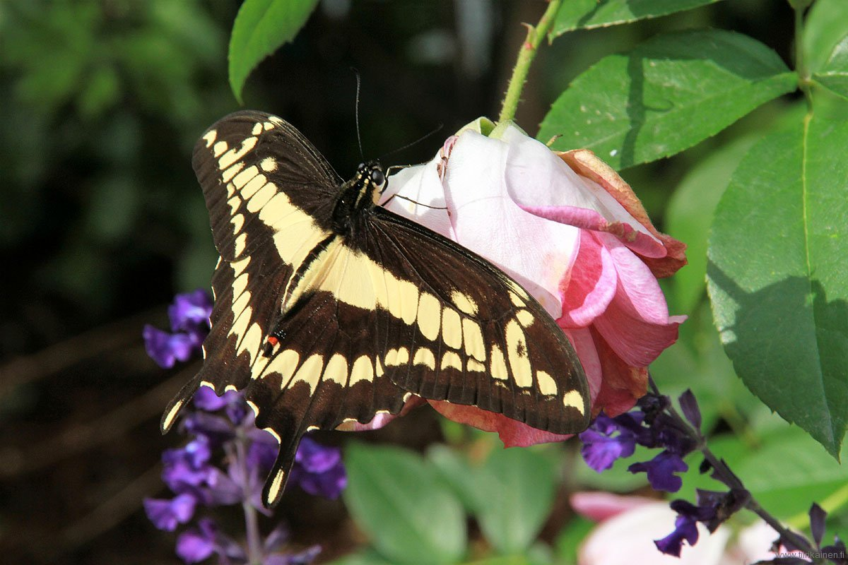 giant swallowtail on a rose