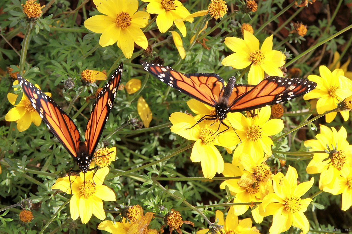two monarchs eating