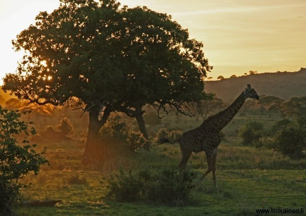 Sunset with a giraffe in Tarangire