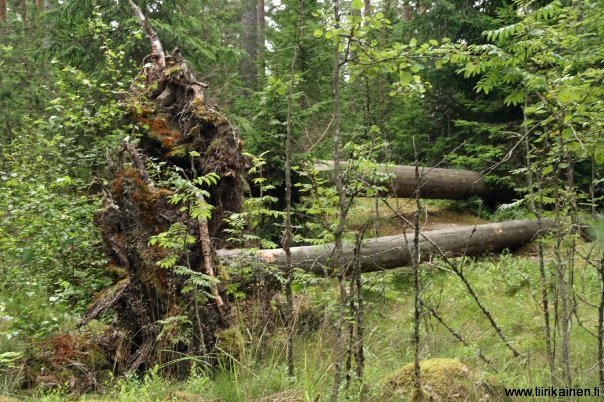 natural forest in nuuksio national park