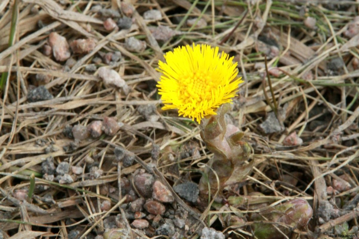 14-4-2011 - the first coltsfoot