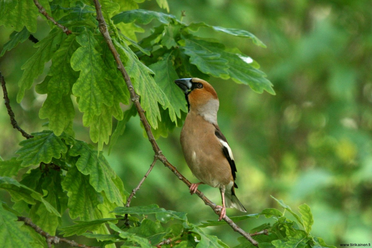 5-6-2011 - hawfinch - an unusual visitor in Finland at home oak