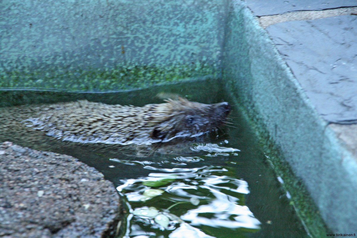 16-7-2011 - Simon the Hedgehog about to drown at our garden pool
