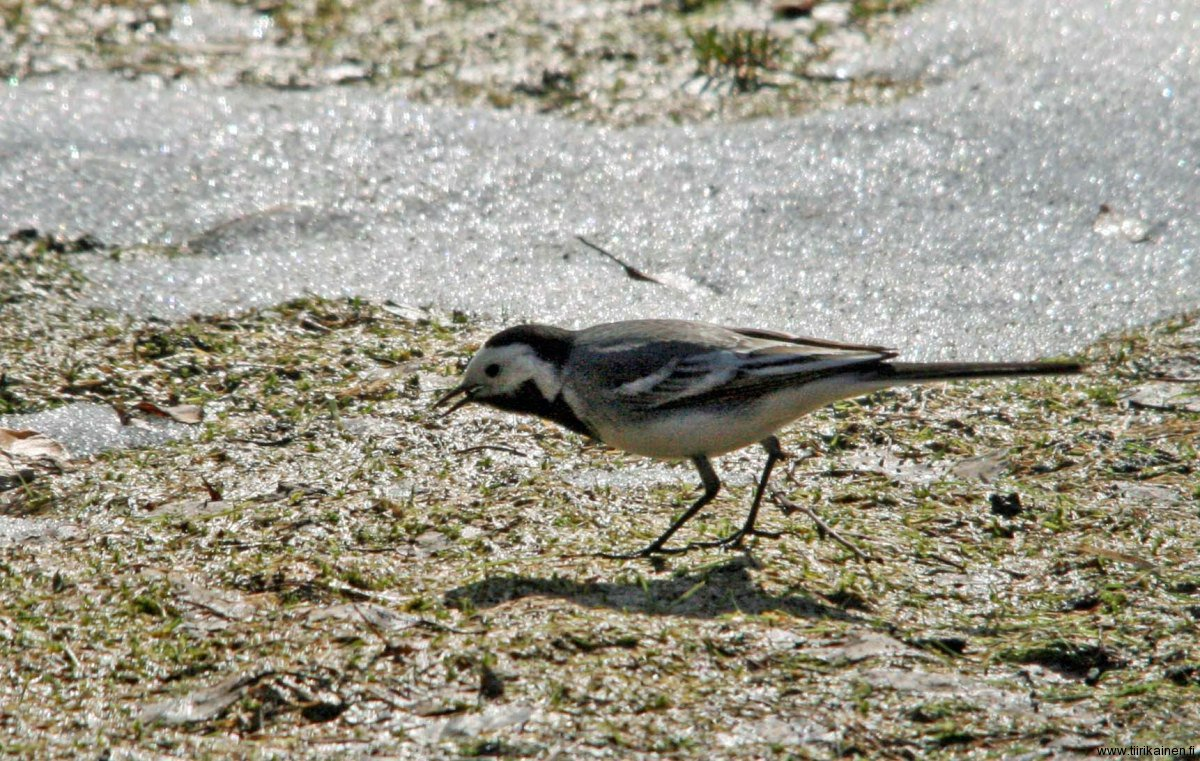 17-4-2011 - just a bit to Summer from first wagtail