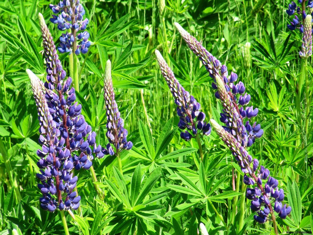 28-5-2012 - Lupins are blossoming