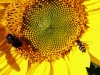 04-08-2013-bee-and-hoverfly-in-sunflower-jpg