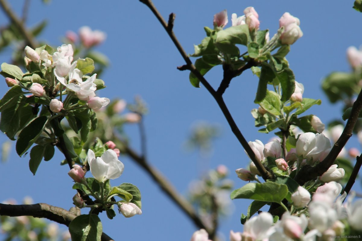 15-5-2016-first-apple-blossoms-early