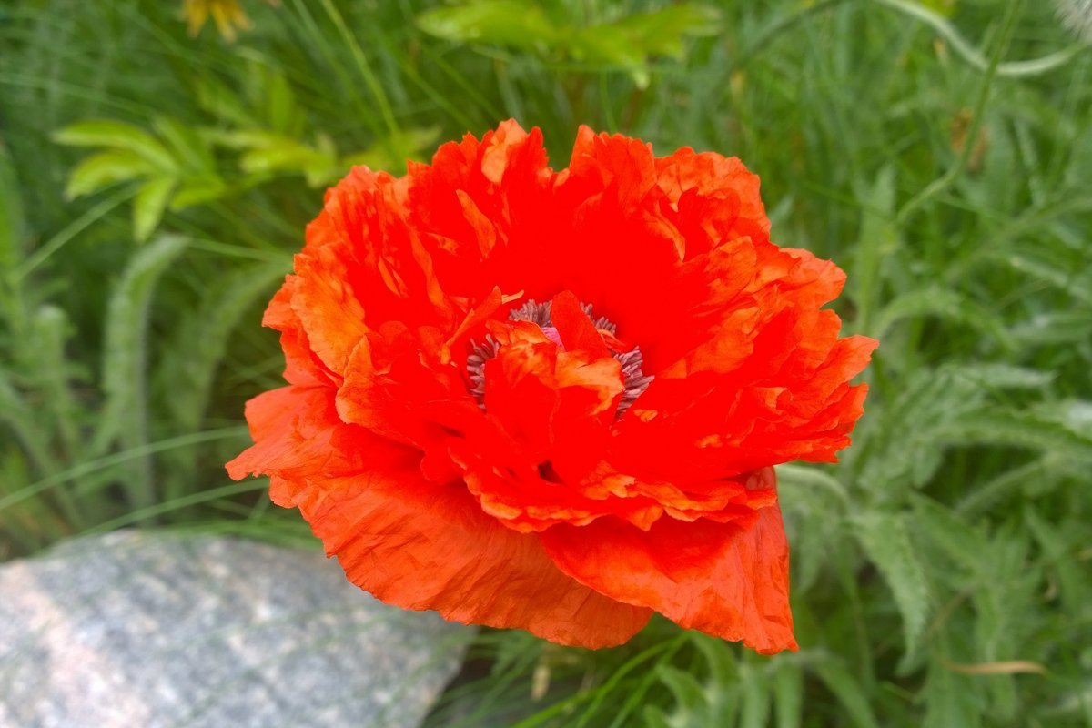 29-05-2016-poppy-blossom-first-time-in-may