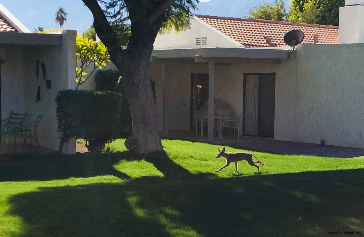 12-12-2018-a-coyote-by-our-patio-at-midday