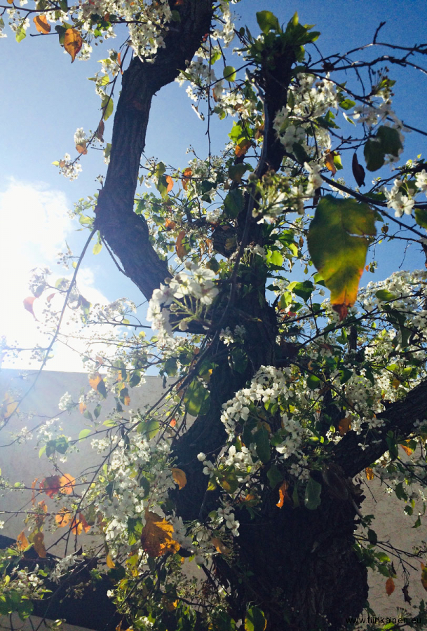 31-01-2019-cat-pee-smelling-callery-pear-tree